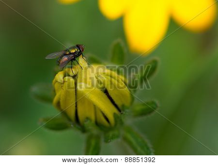 House Fly On Closed Yellow Flower Macro