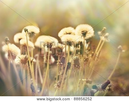 Dandelion seeds - fluffy blowball