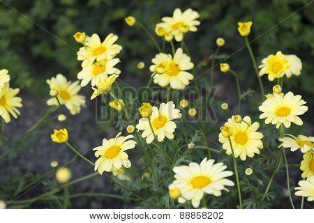 Yellow Marguerite
