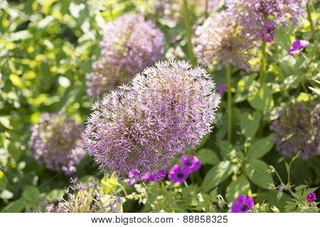 Alium leek plant