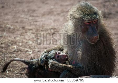 baboon breast feeding
