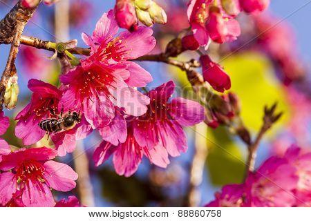 Beautiful Flowering Japanese Cherry - Sakura.