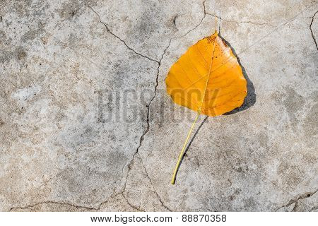 Bodhi Leaf