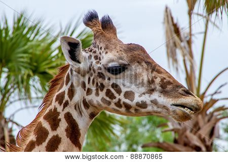Head Shot of a Giraffe (Giraffa camelopardalis)