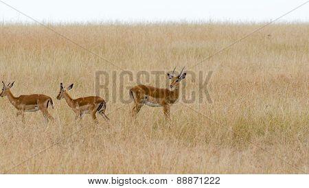 Deers in Masai Mara, Kenya