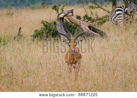Impala Deer in Masai Mara, Kenya