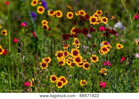 Texas Plains Coreopsis (Coreopsis tinctoria) Wildflowers