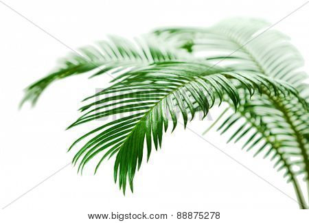 Green palm branches close up