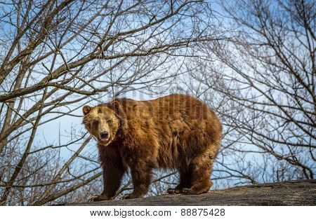 Grizzly bear  on rock against sky and early Spring trees