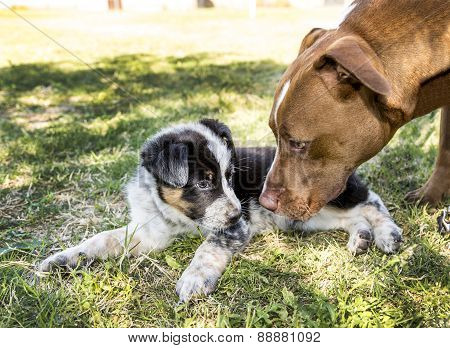 Adult Dog Greets Puppy