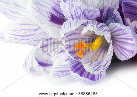 Spring Flower Crocus Macro On White Background