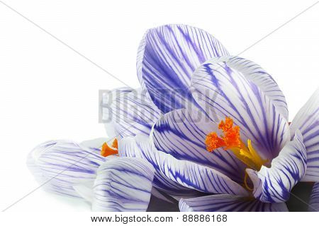 Crocus Close Up Isolated On White