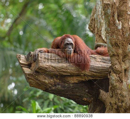 Adult Orangutan Resting On Tree Trunk