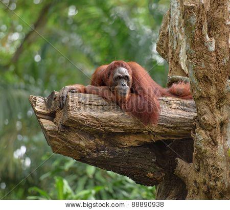 Adult Orangutan Resting On Tree Trunk