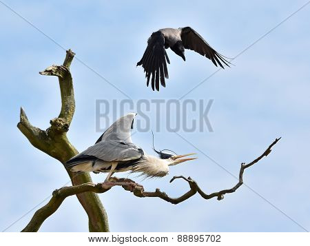 Hooded Crow (corvus Cornix) Attacking A Grey Heron (ardea Cinerea) In A Tree