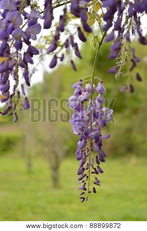 Purple Wisteria Blooms In Vertical Orientation Against Green Background