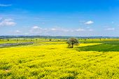 foto of rape-seed  - aerial view rural landscape with blooming rape at the north Greece  - JPG