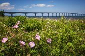 picture of confederation  - Closeup of wild rose flowers at New Brunswick - JPG