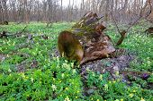 pic of rotten  - Old rotten wooden stump on meadow in spring forest - JPG