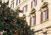 image of satsuma  - Orange trees on a street in Rome with buildings in the background - JPG