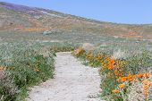 foto of antelope  - Early spring flowers blooming along the walking trail of the Antelope Valley Poppy Preserve in California - JPG
