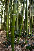 picture of bamboo forest  - close up with a fisheye of a bamboo forest where tourists have scratch their names and messages on the green bark - JPG