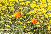 pic of antelope  - Springtime in California thousands of flowers blooming on the hills of the Antelope Valley California Poppy Preserve - JPG