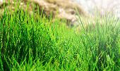 pic of tall grass  - background of green grass in the background hay - JPG