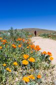 pic of antelope  - Trail thru the field covered in spring flowers in Antelope Valley California Poppy Preserve - JPG