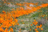 stock photo of antelope  - Springtime in California thousands of flowers blooming on the hills of the Antelope Valley California Poppy Preserve - JPG
