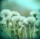 stock photo of dandelion seed  - Fluffy blowball  - JPG