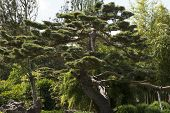 pic of pine-needle  - The Japanese black pine Pinus thunbergii is a coniferous tree of the genus Pinus with pines growing in pairs - JPG