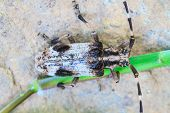 picture of longhorn  - insect from Thailand - JPG