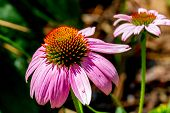 stock photo of texas  - Detailed Closeup of a Beautiful Pink or Purple Coneflower - JPG