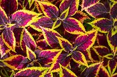 picture of nettle  - Coleus or Painted Nettle background - JPG