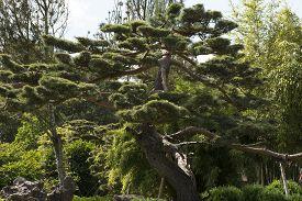stock photo of pine-needle  - The Japanese black pine Pinus thunbergii is a coniferous tree of the genus Pinus with pines growing in pairs - JPG