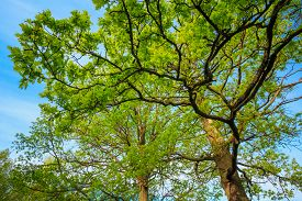 pic of canopy  - Canopy Of Tall Oak Trees - JPG