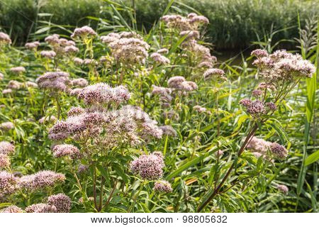 Blooming Hemp-agrimony From Close