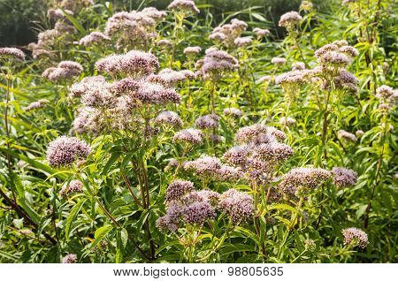 Blossoming Hemp-agrimony From Close