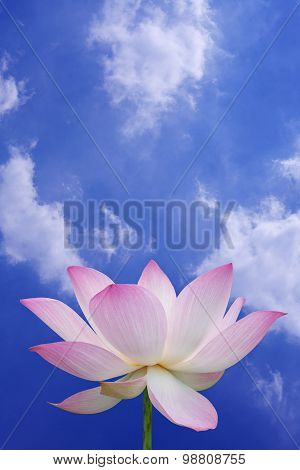 Pink Lotus With Blue Sky