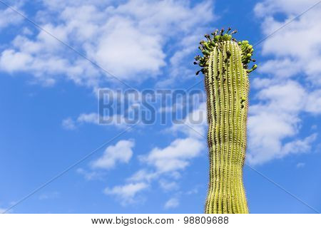 Saguaro in Flower