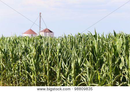 Corn Field in the USA