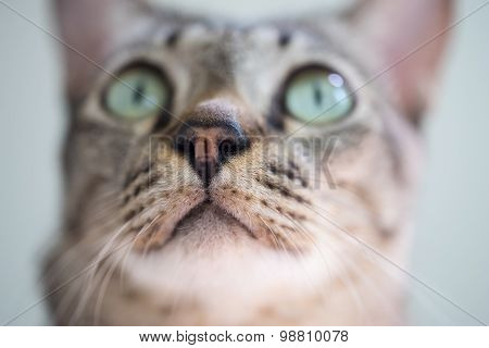 Selective Focus On Cat Nose And Cat Eyes Pleading.