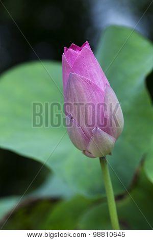 Pink Lotus Bud