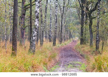 Path In Birch Forest During Autumn