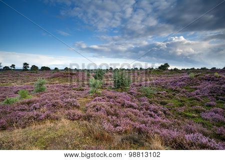 Flowering Heather In Summer