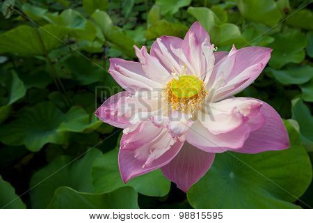 Beautiful Blooming Pink Water Lily