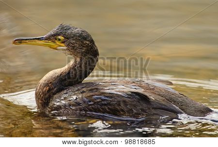 Cormorant Phalacrocorax carbo in a river close up