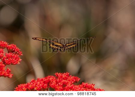 Anise swallowtail butterfly hovers over a flower