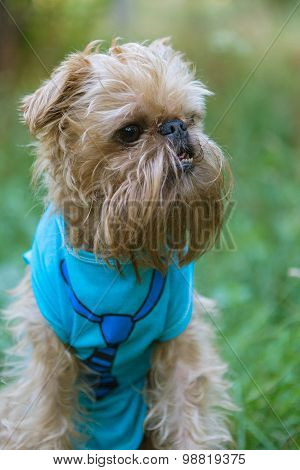 Portrait Dog Brussels Griffon